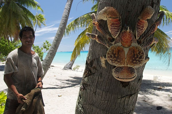 the-biggest-land-living-arthropod-in-the-world-coconut-crab-in-tree.jpg